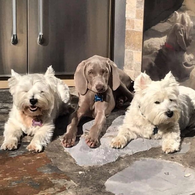Mimi, Rowdy and Wrigley Goldberg hanging out on the patio in the Texas sunshine.